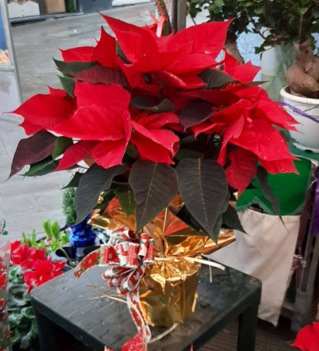 Stella di Natale, pianta