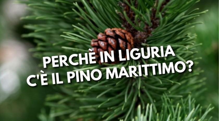 Pinoli, Pino Marittimo