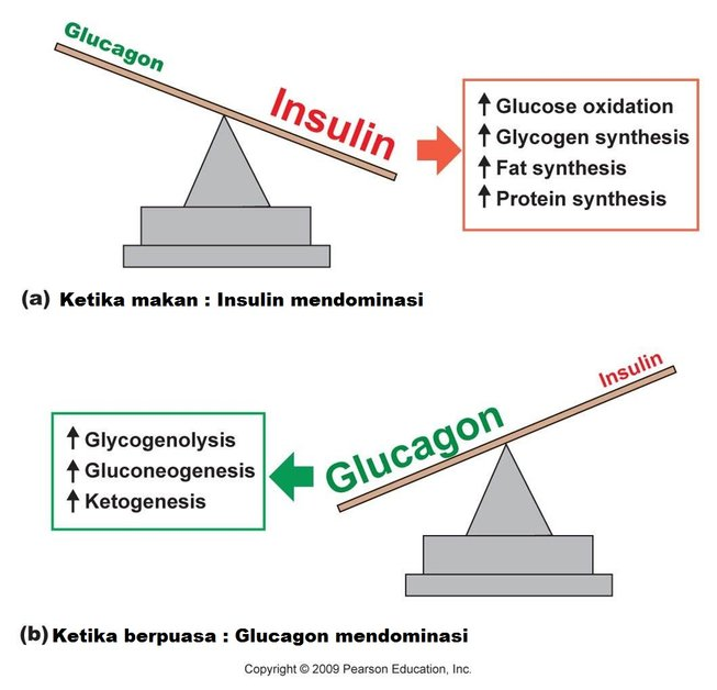 insulin vs glucagon 240