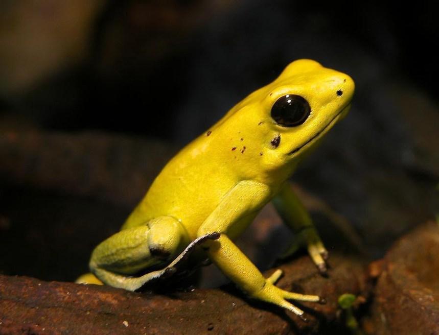 katak emas beracun