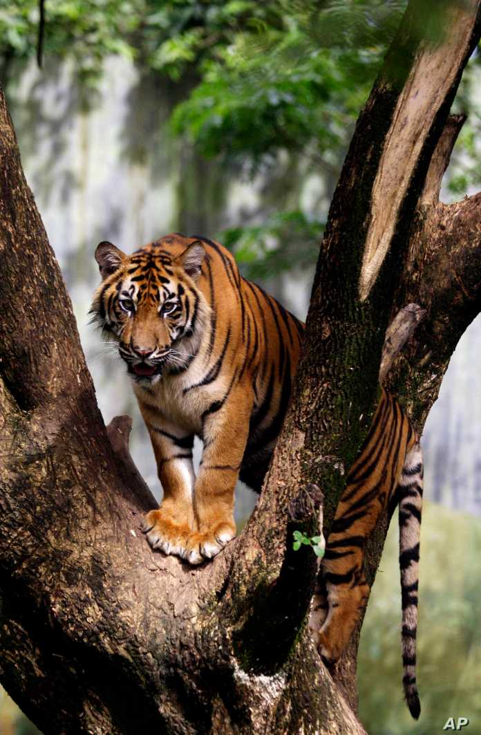 Indonesian Zoo Raising Money To Feed Tigers Other Animals Voice Of America English
