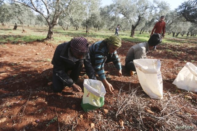 Farmers pick olives during the harvest season in the western province of Idlib, Syria November 19, 2015. REUTERS/Ammar Abdullah