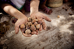 Ripe argan fruits ready to be dried