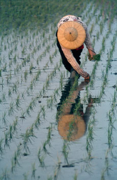 A woman plants rice seedlings in a flooded paddy field, Taiwan