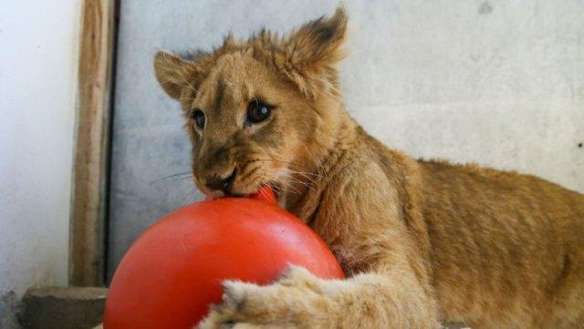 Kafesten kurtarıldı, aslan sürüsüne katılacak
