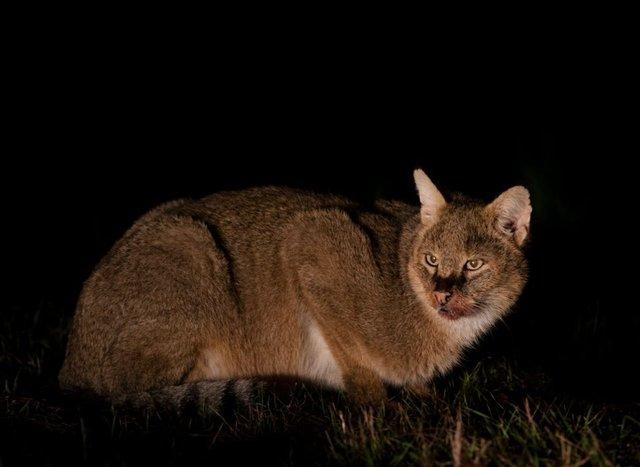 5 gün boyunca saz kedisinin her anını görüntüledi