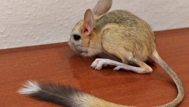 Baskil ilçesinde nadir görülen Arap tavşanına rastlandı
