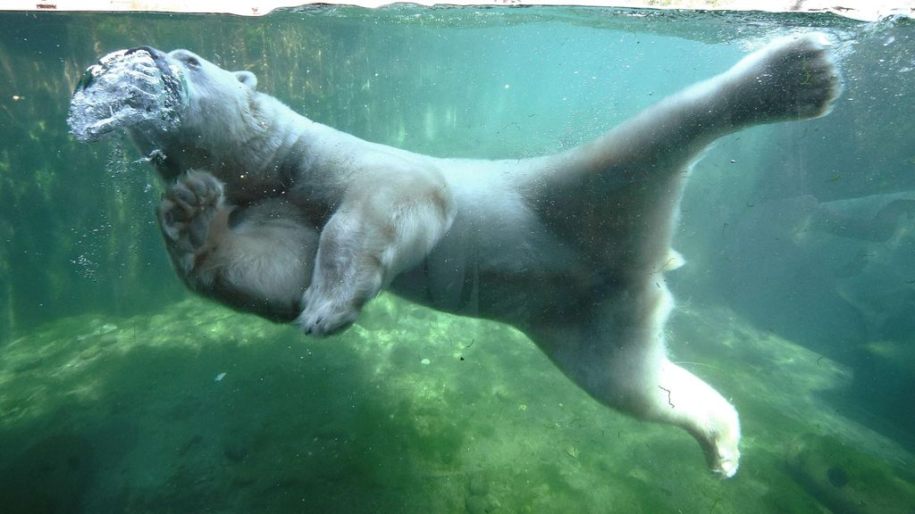 Saksassa Hannoverin eläintarhan jääkarhu viilensi itseään vedessä kesällä 2015. Copyright: AFP / Lehtikuva. Kuva: Holger Hollemann.