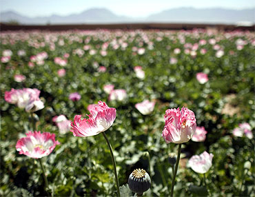 A large field of poppies grows on the outskirts of Jelawar village in the Arghandab Valley north of Kandahar