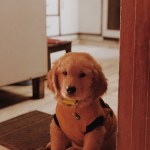 Max Pupper Pupperino Cute Goldenretriever Arjanbedi Vsco