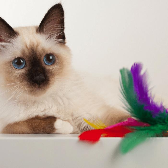 #CrazyCatLady #KittenCare #KittenToys2017
