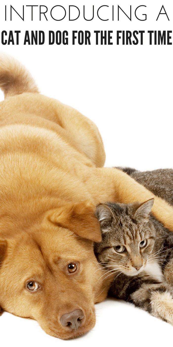 #CrazyCatLady #CatandDog #CatCare introduce a cat to a dog