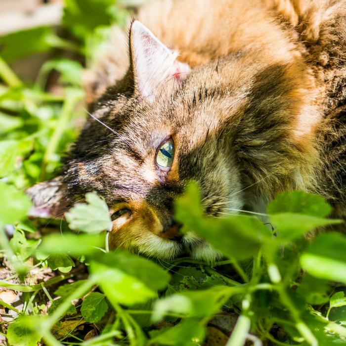#CrazyCatLady #CatnipandCats #CatnipFacts