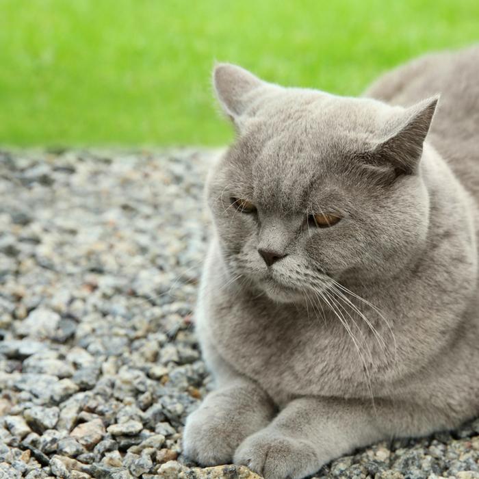 #CrazyCatLady #CatCare #ObeseCat obese cat