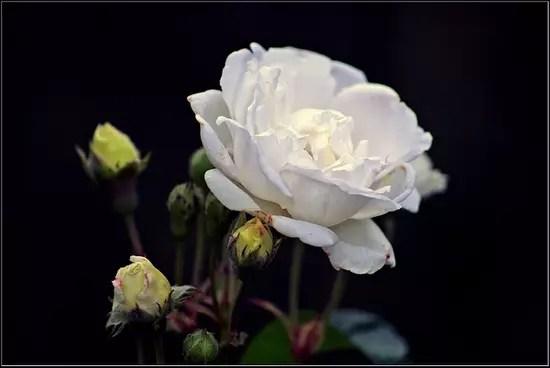 Rose blanche - Abimée par la pluie, elle termine bientôt sa courte vie, mais les boutons floraux sont déjà prêts a prendre la relève.