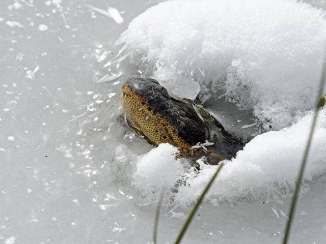 Severe snowstorm in the US: Crocodiles have strange behavior that many people worry about