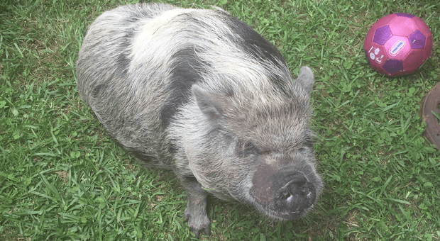 Cullman county pig.png