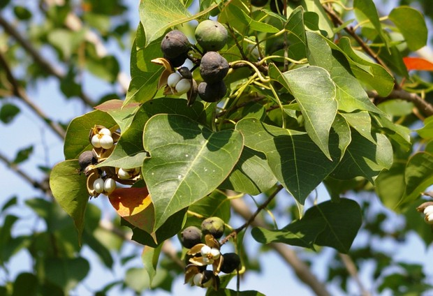 tallowtree fruit.jpg