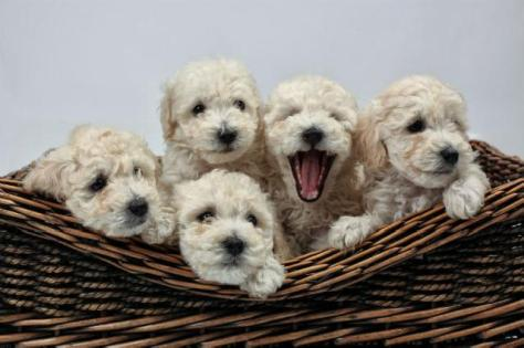 Como identificar cadelas prenhas (grávidas)