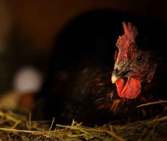 Gp Chickens 190613 Eu