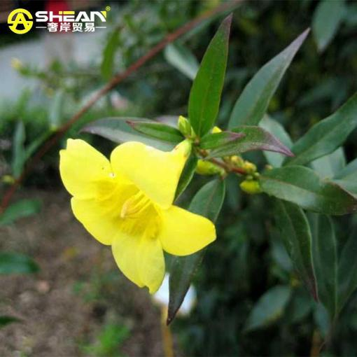 2018  Bag Yellow Jasmine Seeds Fragrant Plant Mirabilis Flower Seeds     4