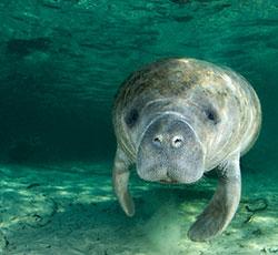 Protect Florida's Manatees
