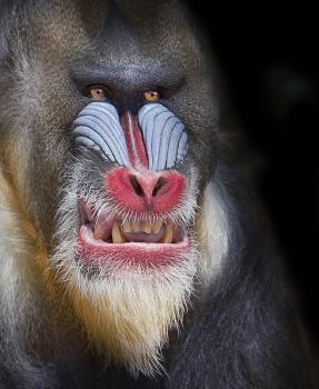 Large Monkey