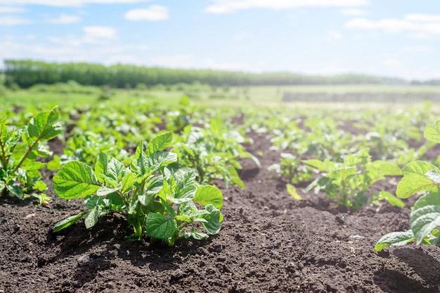 Primer plano de un brote de patata joven en el jardín. plantación de papa, agricultura, cosecha de otoño Foto Premium