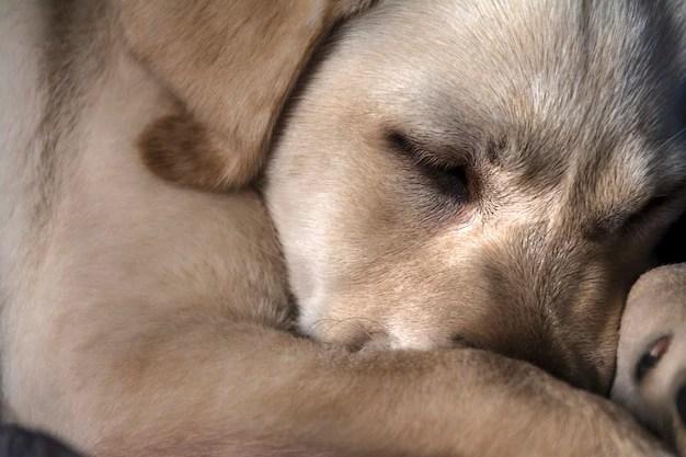 Cachorro marrom dormindo rotina
