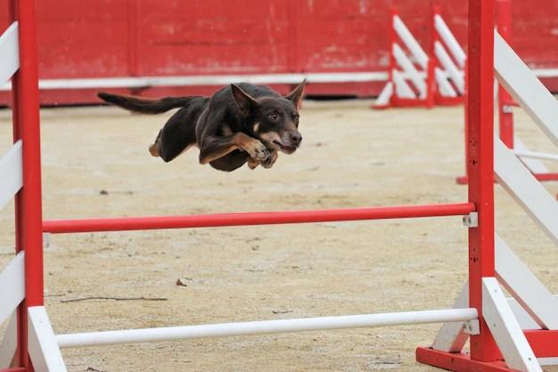 Cão de gado australiano em competição