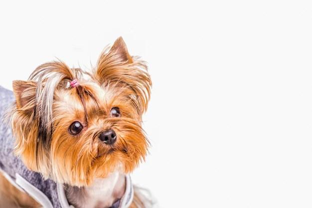 Filhote de yorkshire faz parte da liste de 200 nomes fofos para cachorros