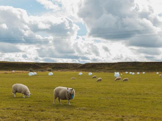 Ovelhas pastando no campo verde em uma área rural sob o céu nublado esportes canino populares pastoreio