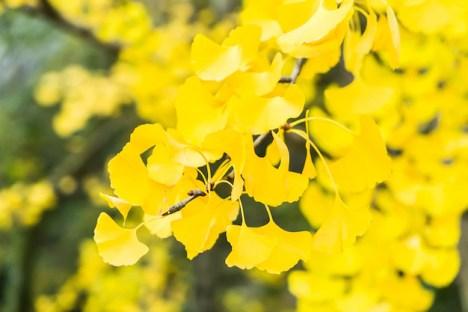 「銀杏の葉 無料写真」の画像検索結果
