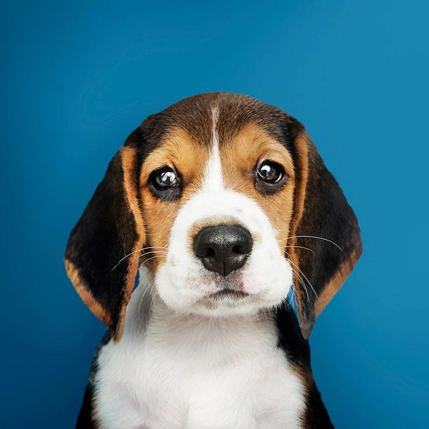 Filhote de Beagle em fundo azul