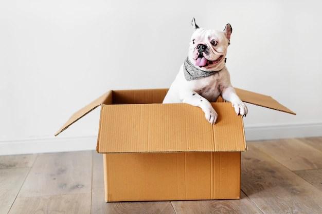 Bulldog inglês branco com lenço no pescoço brincando em caixa