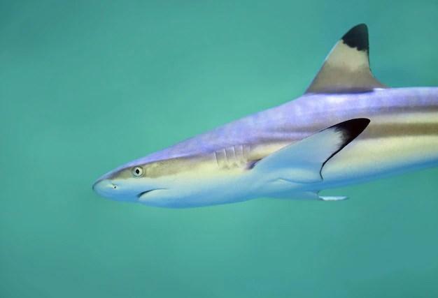 Tubarão cinzento do recife, a espécie estudada em ambos os trabalhos