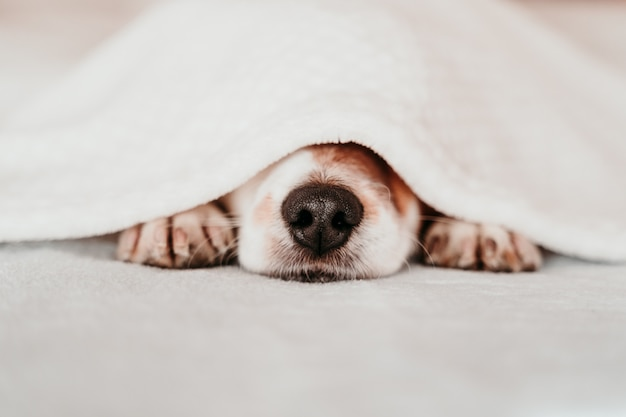 Cute small jack russell dog resting on bed on a sunny day covered with a blanket Premium Photo