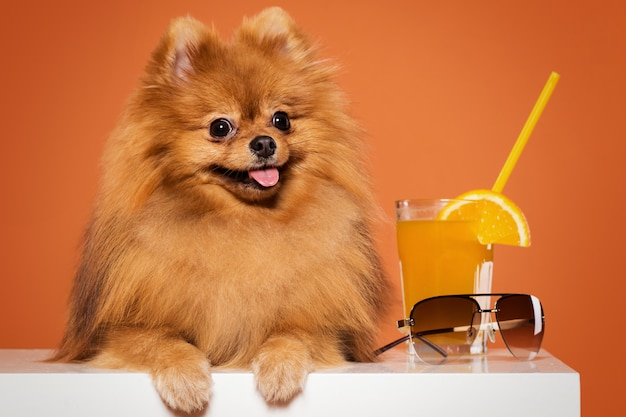 Cute spitz with juice Free Photo
