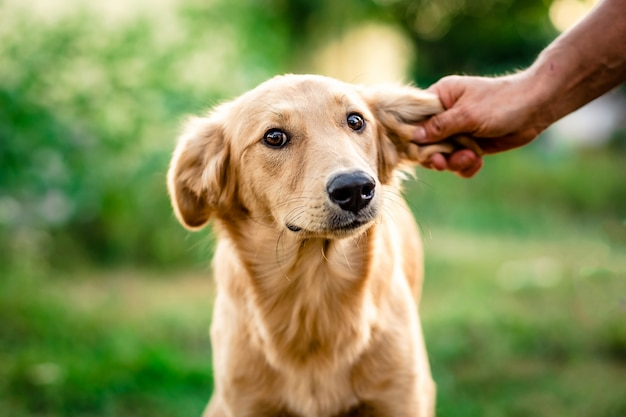 Light fur dog cowardly looking Premium Photo