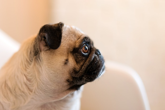 Lovely Funny White Cute Pug Dog Close Up Making Sad Face Waiting For Food Premium Photo