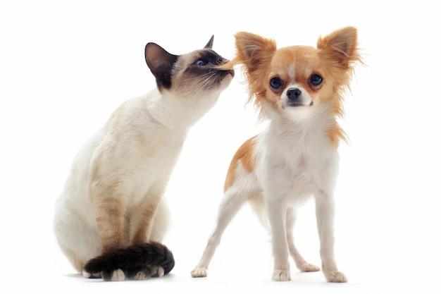 Puppy chihuahua and siamese kitten Premium Photo