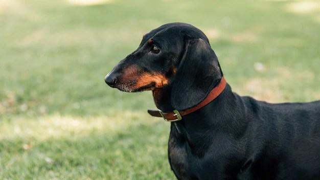 Dachshund preto com focinho marrom em parque
