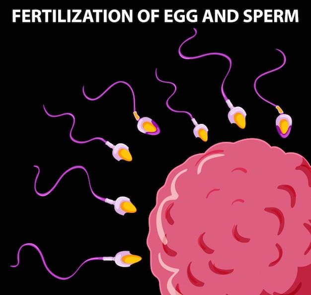 Diagram showing fertilization of egg and sperm Free Vector