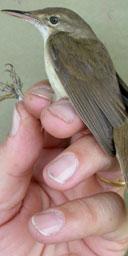 Large-billed reed warbler
