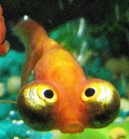 Ikan Mak Koki. Ikan ini hasil modifikasi manusia dan tidak ada aslinya di alam.