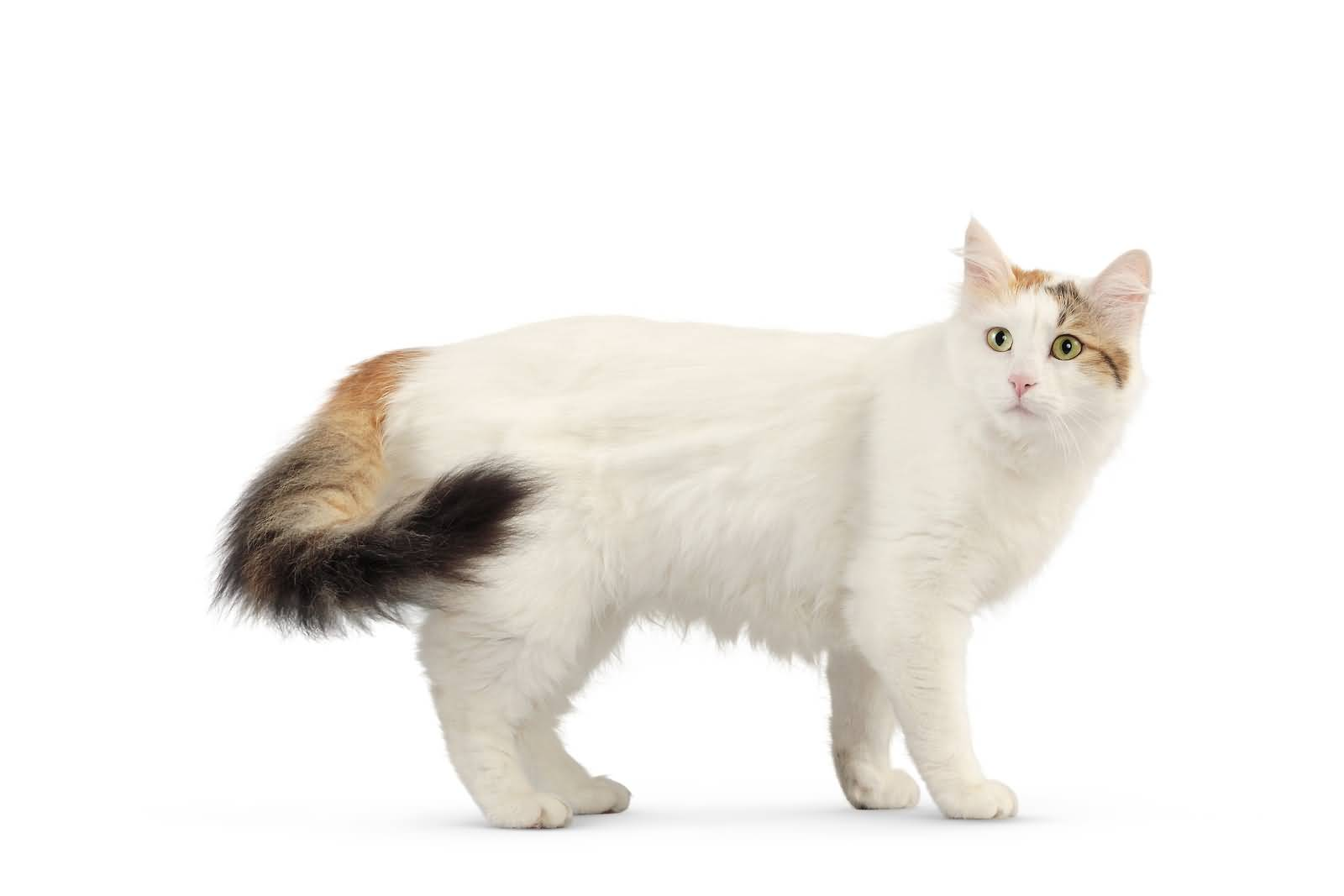 Adult_Beautiful_Turkish_Van_Cat