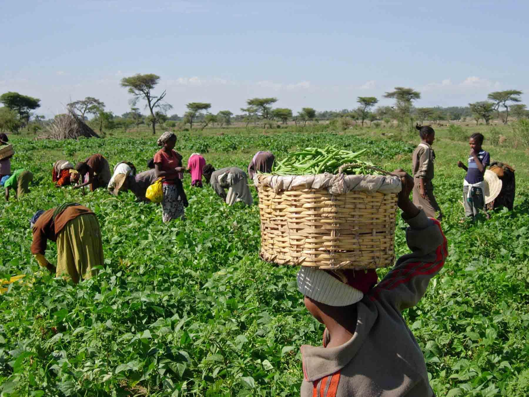 África necesita a sus jóvenes para modernizar su agricultura