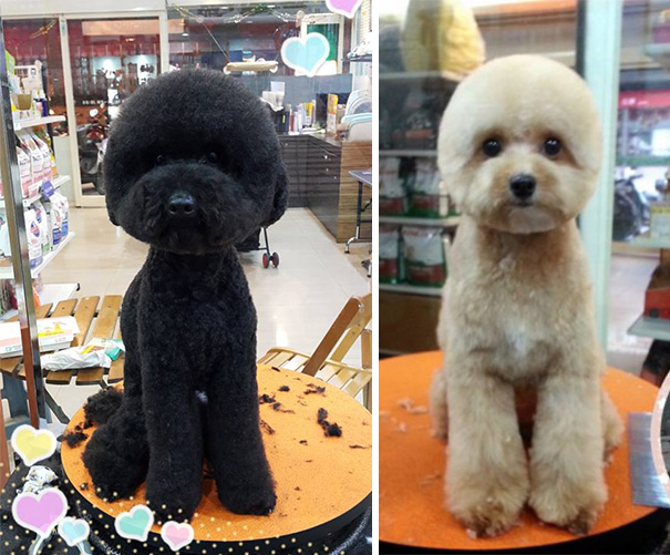 square-round-dog-haircut-taiwan-11