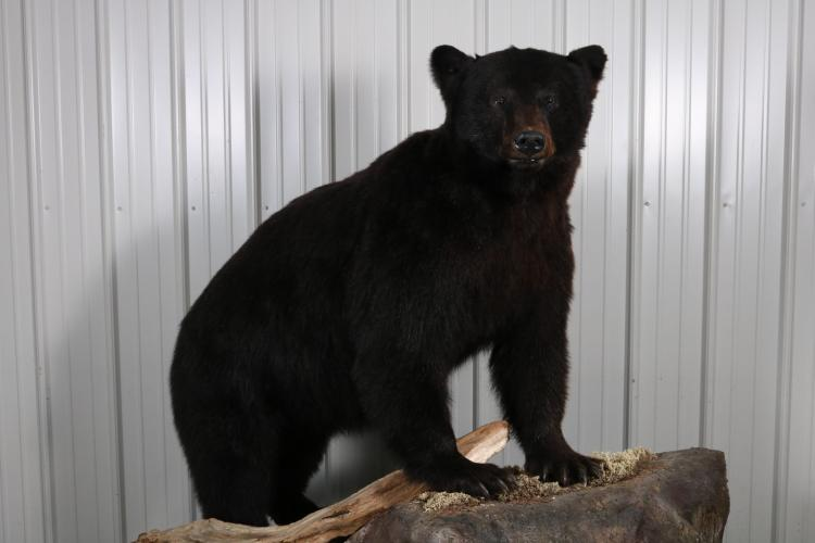 Full Body Black Bear Boar Taxidermy Mount From Vancouver Is