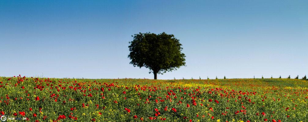 Mohnfeld mit Baum